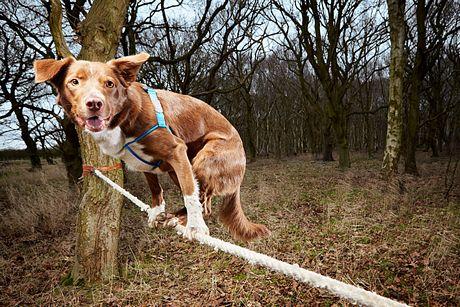 Con chó Ozzy, ở Norfol, Anh lập kỷ lục di chuyển nhanh nhất trên một chiếc dây thừng.
