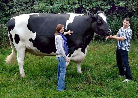 Chú bò khổng lồ