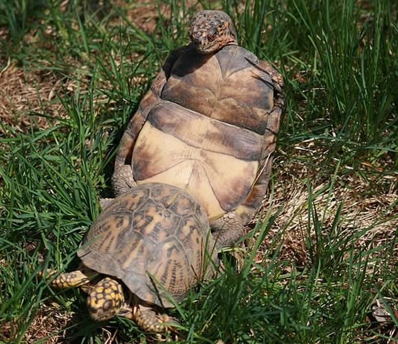 """Ảnh độc: Lật ngửa khi """"sex"""" - bi kịch của loài rùa (10)"""