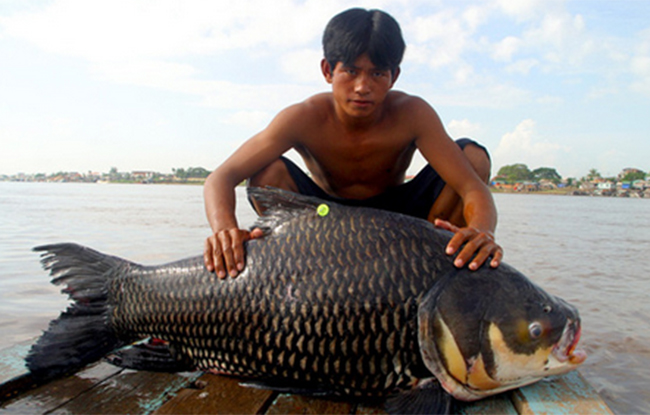 Con cá chép sông có thân hình to hơn cả người đàn ông