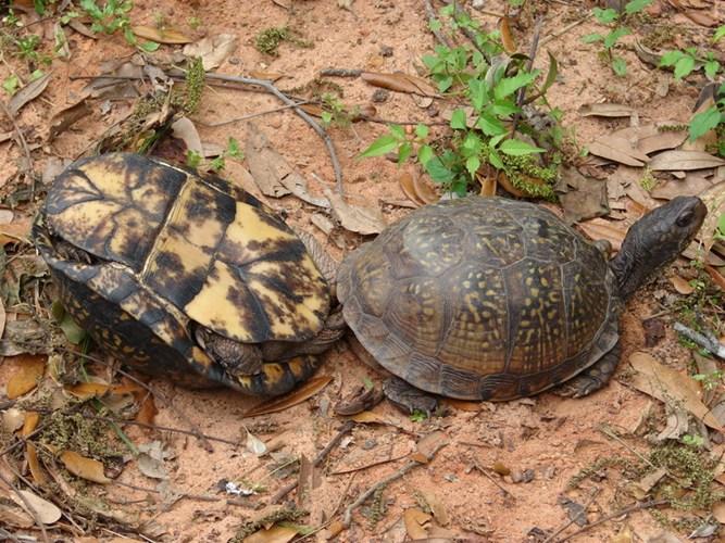 """Ảnh độc: Lật ngửa khi """"sex"""" - bi kịch của loài rùa (9)"""
