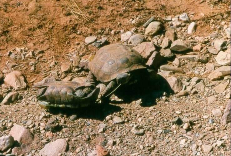 """Ảnh độc: Lật ngửa khi """"sex"""" - bi kịch của loài rùa (8)"""