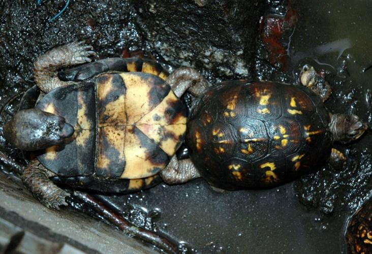 """Bị """"tai nạn"""" vài lần trong một """"cuộc tình"""" là chuyện thường của những chú rùa này"""