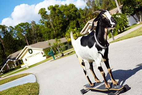 Con dê Happie, ở Florida, Mỹ, được ghi vào sách Guinness với thành tích trượt ván lâu nhất.