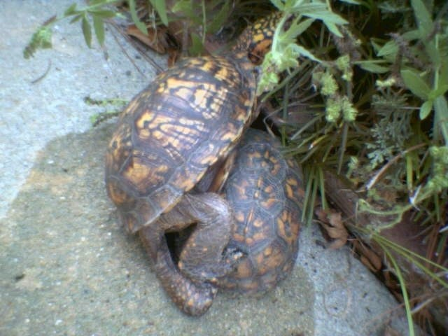 """Ảnh độc: Lật ngửa khi """"sex"""" - bi kịch của loài rùa (6)"""