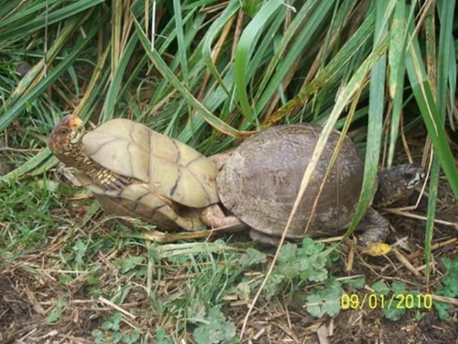 """Ảnh độc: Lật ngửa khi """"sex"""" - bi kịch của loài rùa (5)"""