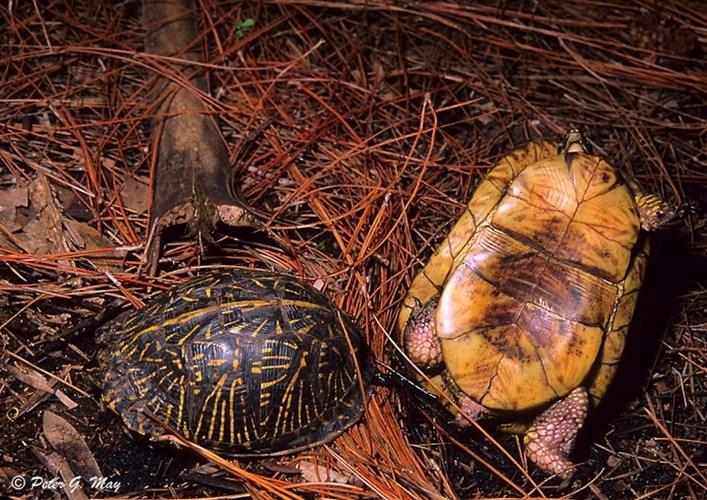 """Ảnh độc: Lật ngửa khi """"sex"""" - bi kịch của loài rùa (4)"""
