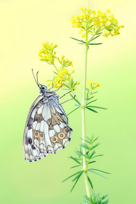 Lung linh hoa, bướm của Simone Noll (2)
