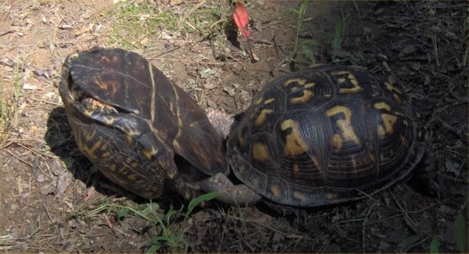 """Ảnh độc: Lật ngửa khi """"sex"""" - bi kịch của loài rùa"""