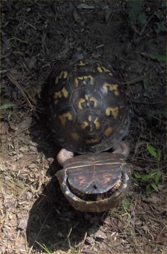 """Ảnh độc: Lật ngửa khi """"sex"""" - bi kịch của loài rùa (2)"""