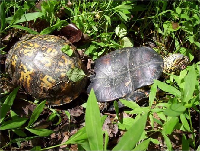"""Chiếc mai của rùa cái khiến rùa đực rơi vào tình thế rất """"chênh vênh"""" Chúng thường xuyên bị mất thăng bằng"""