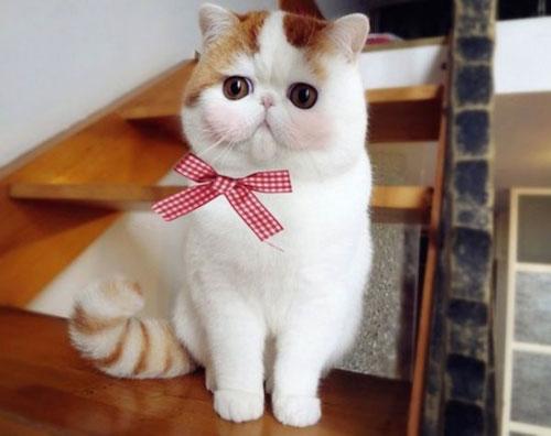 Chú mèo mặt ngắn Snoobybab (5)