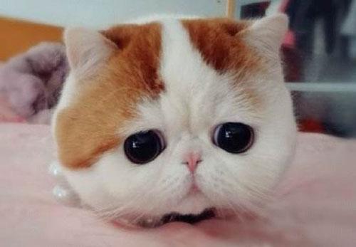 Chú mèo mặt ngắn Snoobybab (4)