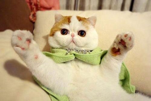 Chú mèo mặt ngắn Snoobybab (3)