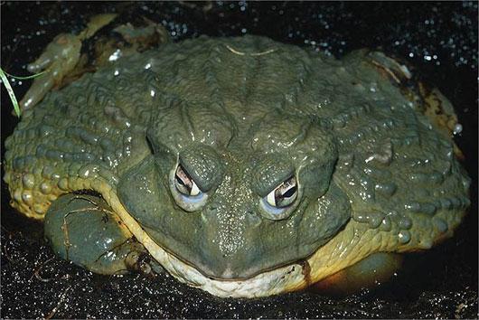 ếch khổng lồ Goliath
