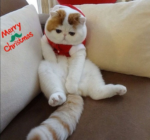 Chú mèo mặt ngắn Snoobybab (2)