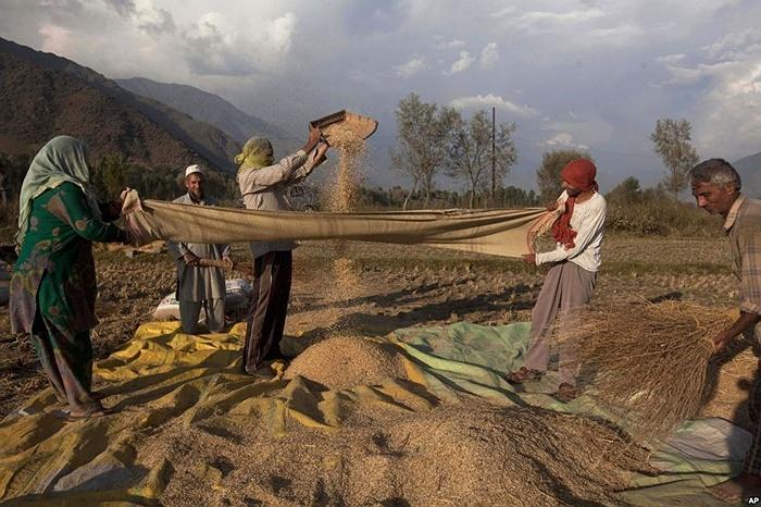 Nông dân ở Kashmir sàng gạo khỏi trấu sau khi thu hoạch ở làng Boras, Ấn Độ