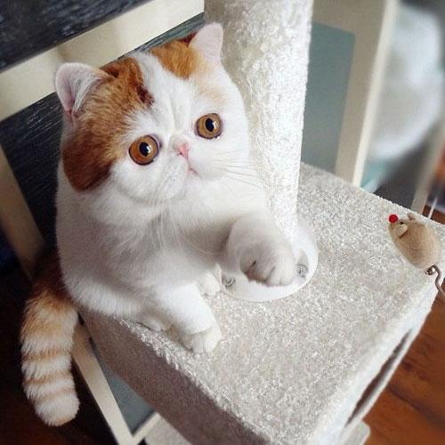Chú mèo mặt ngắn Snoobybab (1)
