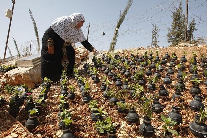 Một phụ nữ Palestine trồng cây trong vỏ đạn hơi cay ở làng Bilin, gần thành phố Bờ Tây Ramallah