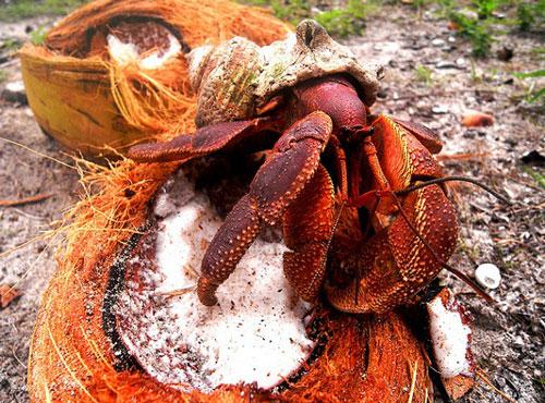 Khi mới được sinh ra, cơ thể cua dừa rất mềm