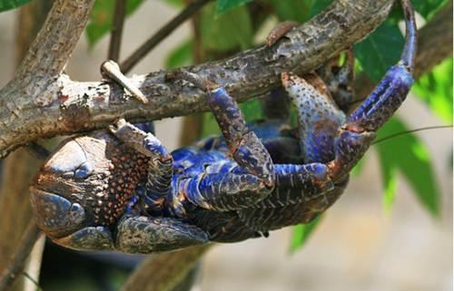 Màu xanh là màu sắc phổ biến nhất cho cua dừa