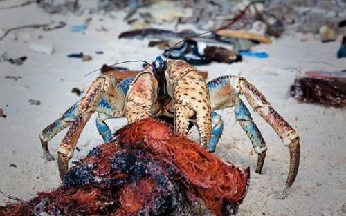 Đảo Christmas chính là thiên đường cho loài cua dừa sinh sống với những rặng dừa trải dài trên bãi biển.