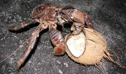 Điều làm con cua dừa thấy hạnh phúc: đó là thưởng thức bữa ăn là món dừa yêu thích của chúng