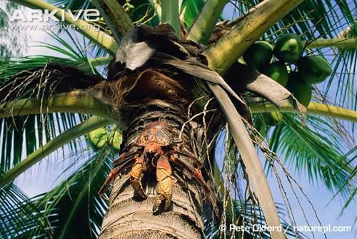 Chúng đủ khôn ngoan để biết biến những quả dừa khó xơi thành bữa ăn một cách dễ dàng