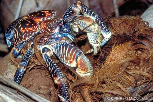 Cua dừa không chỉ ăn phần cùi dừa ngọt lịm, chúng còn sử dụng vỏ dừa để xếp thành hang của mình.
