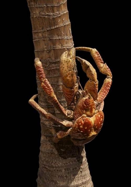 Đây là một con cua dừa đang trên đường lên để hái dừa cho bữa ăn tối