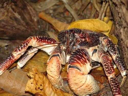 Một lý do giải thích cho kích thước khổng lồ của cua dừa là chúng có sự phát triển trong suốt cuộc đời