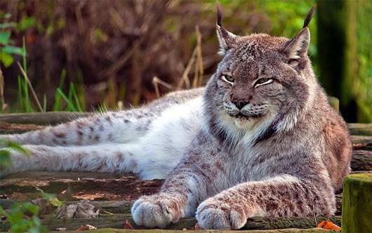 Linh miêu tuyết, tên khoa học là lynx, là một chi chứa 4 loài mèo hoang khổng lồ