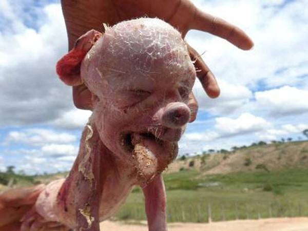 Quái thai lợn mặt người gây náo loạn Brazil