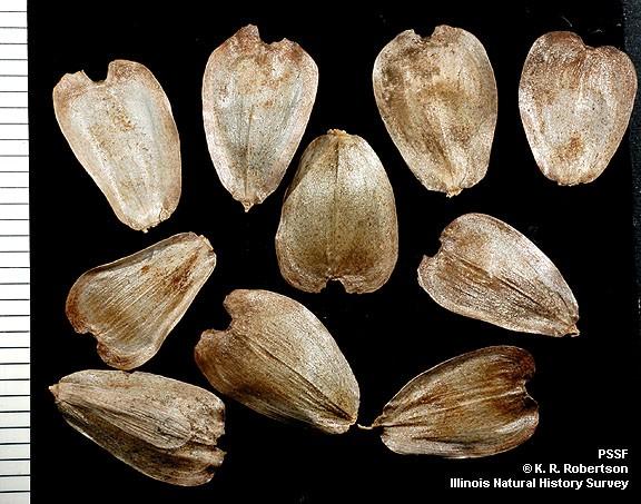 Hạt cây Silphium. Ảnh: aliexpress.com