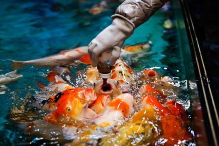 Cách người ta cho cá ăn ở một thủy cung tại Cáp Nhĩ Tân, Trung Quốc.