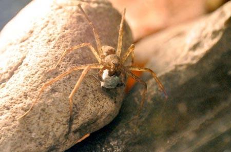 Một con đực thuộc loài nhện trang trí Paratrechalea đang dùng miệng ngậm sính lễ tới cầu hôn bạn tình. Ảnh: Discovery