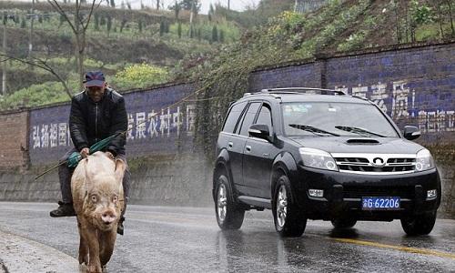 Người đàn ông cưỡi lợn đi chợ mỗi ngày