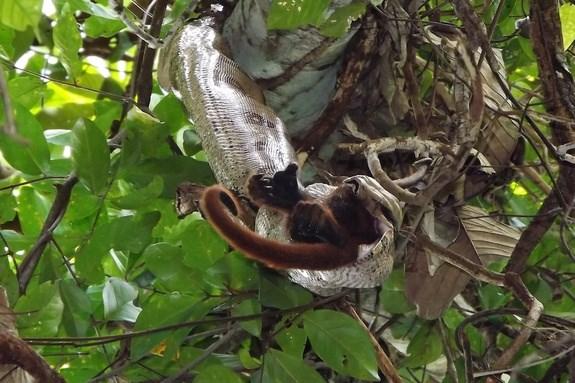 Trăn Nam Mỹ tấn công và nuốt trọn một con khỉ rú