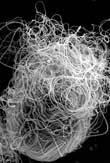 Tinh trùng ruồi giấm dài gấp 1.000 lần linh trùng người