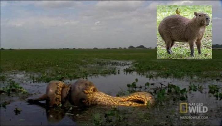 Trăn Anaconda là một trong số những loài đáng sợ nhất Trái đất, nuốt chửng chuột khổng lồ