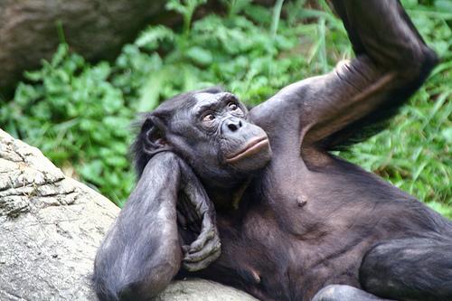 Khỉ đực Bonobo làm nô lệ tình dục