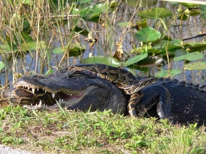 Một con cá sấu Mỹ vật lộn chiến đấu với một con trăn trong Vườn quốc gia Everglades