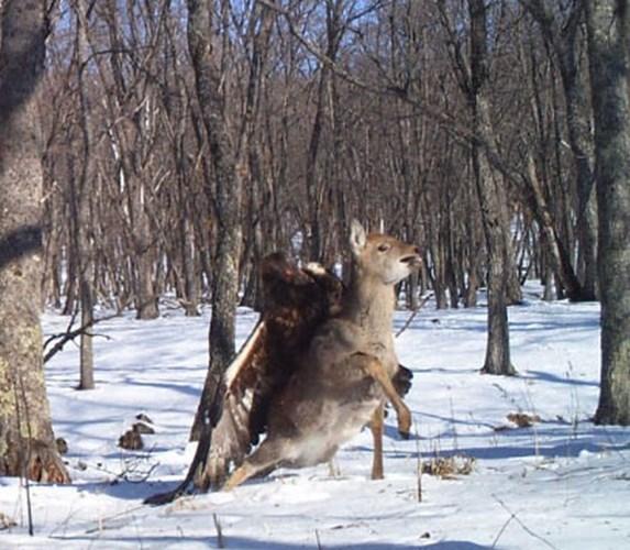 Cuộc tấn công hươu Sika đẫm máu của một con đại bàng vàng