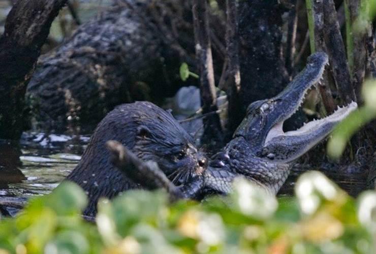 Sát thủ đầm lầy cá sấu đã trở thành miếng mồi ngon lành dưới hàm rái cá ở Florida, Mỹ