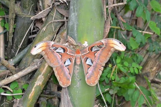 Nghệ An: Bướm khổng lồ cánh hình đầu rắn