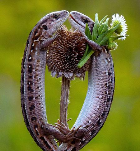 Thằn lằn cũng biết... tặng hoa?