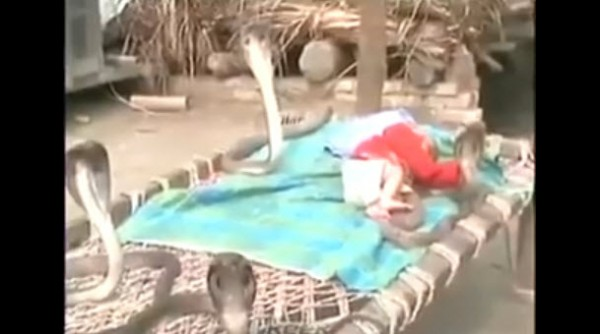 Bốn rắn hổ mang canh giữ bé sơ sinh