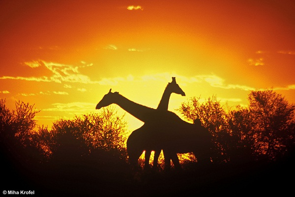 Silhouette of two Giraffes by mk lynx