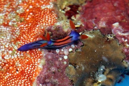 Một con sên biển màu sắc sặc sỡ.