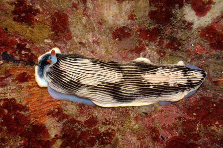 Con ốc sên biển màu mè này không cần mai bảo vệ. Nó có khả năng nhả chất độc mạnh để ngăn những kẻ săn mồi tiến lại gần.